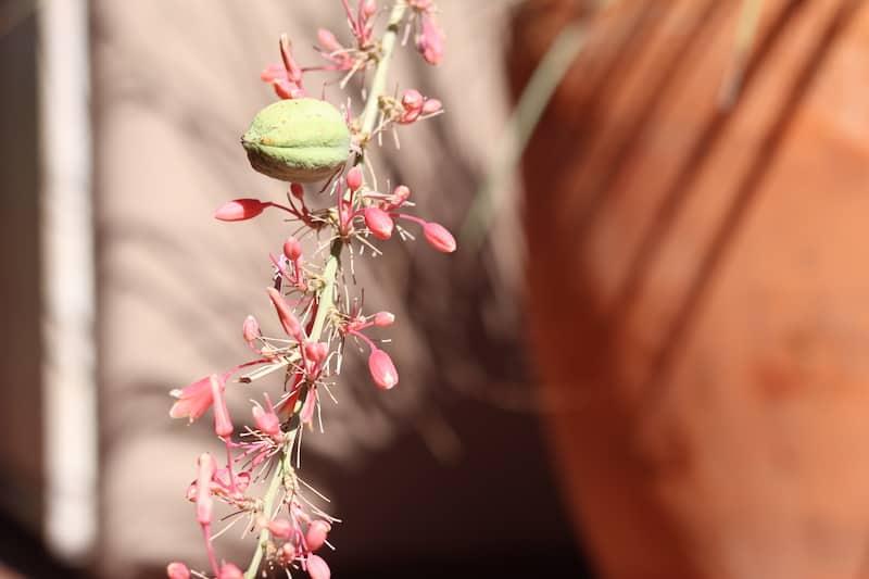Phoenix Patio Home Yucca pods